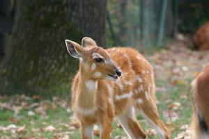 antilopa sitatunga (Foto: Zoološki vrt grada Zagreba)